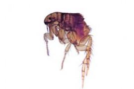 fleas-pest-control