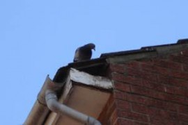 pigeon-pest-control