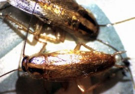 German Cockroach at 60x magnification
