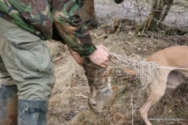Removing a rabbit caught in a purse net whilst ferretting