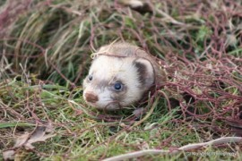 A ferret working in a burrow whilst rabbitting