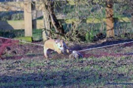Rabbit chased by the dog into long net