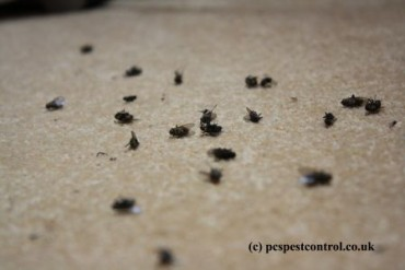 Dead Cluster Flies in window bottom