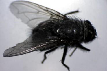Cluster Fly ( pollenia rudis)
