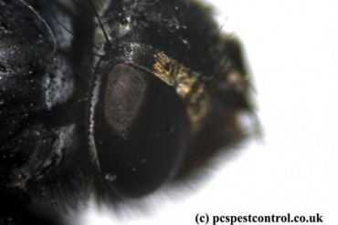 Close up of a cluster fly under a digital microscope at 100X magnification.