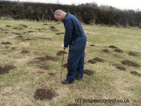 Locating the mole runs to set the traps on farmland
