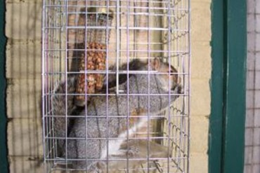 Grey Squirrel caught in a Elgeeco Squirrel Cage Trap
